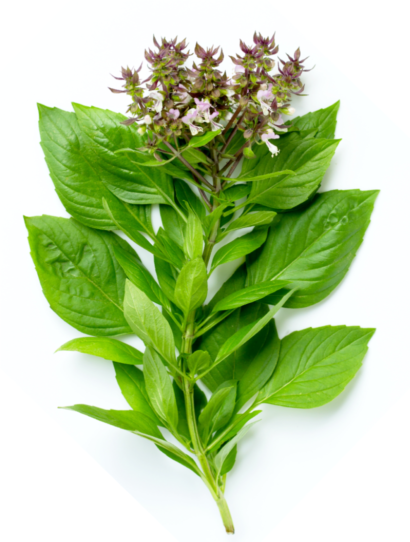 Basil Leaves | Herbs for BBQ | BBQanswers
