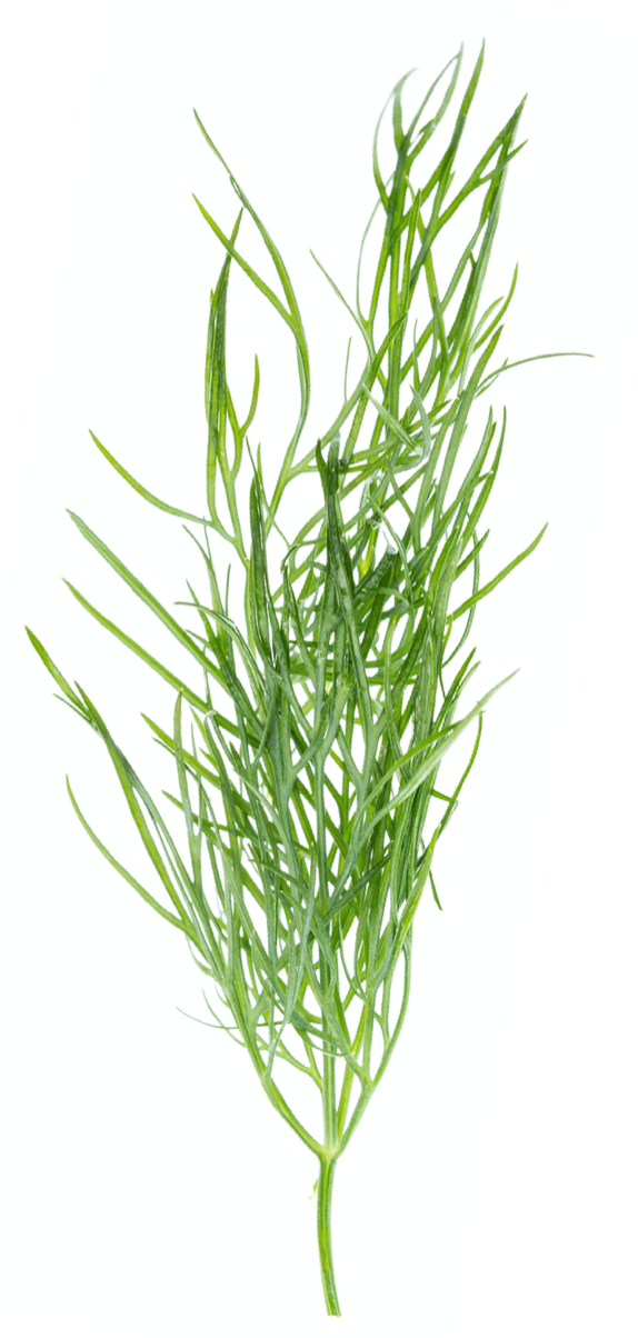 Dill Herb | Herbs for BBQ | BBQanswers
